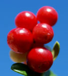 Preiselbeere Strauch Frucht rot Vaccinium vitis idaea 01