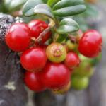 Preiselbeere Strauch Frucht rot Vaccinium vitis idaea 04