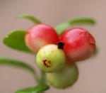 Preiselbeere Strauch Frucht rot Vaccinium vitis idaea 05