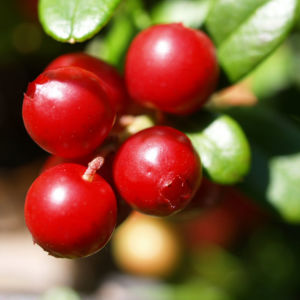 Preiselbeere Strauch Frucht rot Vaccinium vitis idaea 06