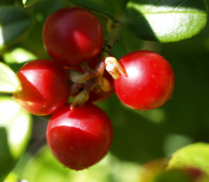 Preiselbeere Strauch Frucht rot Vaccinium vitis idaea 09