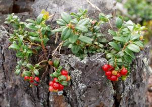 Preiselbeere Strauch Frucht rot Vaccinium vitis idaea 18