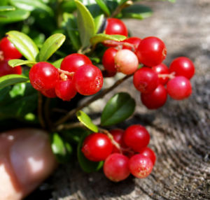 Preiselbeere Strauch Frucht rot Vaccinium vitis idaea 19