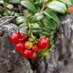 Bild: Preiselbeere Strauch Frucht rot Vaccinium vitis-idaea