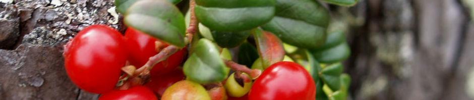 preiselbeere-strauch-frucht-rot-vaccinium-vitis-idaea