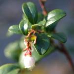 Preisselbeere Beere rot Vaccinium vitis idaea 02