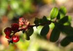Bild: Preisselbeere Beere rot Vaccinium vitis-idaea