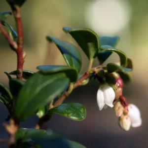 Preisselbeere Beere rot Vaccinium vitis idaea 05