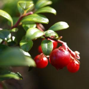 Preisselbeere Beere rot Vaccinium vitis idaea 07