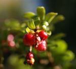 Preisselbeere Beere rot Vaccinium vitis idaea 09
