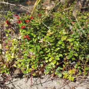 Preisselbeere Beere rot Vaccinium vitis idaea 11
