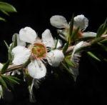 Prickly Tea Tree Bluete weiss Leptospermum juniperinum 06