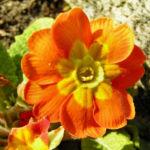 Primel Bluete gelb orangerot Primula vulgaris 01