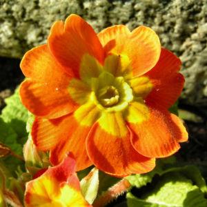 Primel Bluete gelb orangerot Primula vulgaris 03