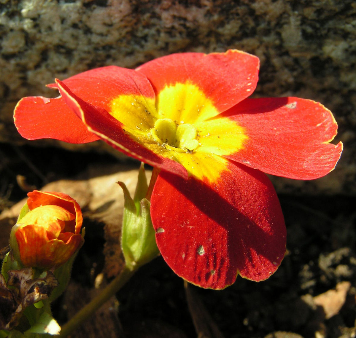 Primel Bluete gelb orangerot Primula vulgaris