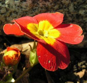 Primel Bluete gelb orangerot Primula vulgaris 04