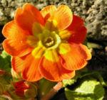 Primel Bluete gelb orangerot Primula vulgaris 05
