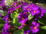 Primel Bluete violett Primula vulgaris 01