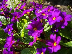 Primel Blüte violett Primula vulgaris
