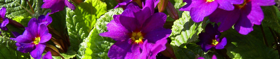 Anklicken um das ganze Bild zu sehen  Primel Blüte violett Primula vulgaris