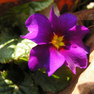 Primel Bluete violett Primula vulgaris 04