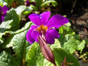 Primel Bluete violett Primula vulgaris 06