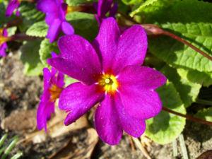 Primel Bluete violett Primula vulgaris 07