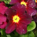 Primel dunkelrot Primula 01