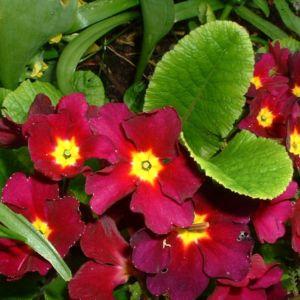 Primel Blüte dunkelrot Primula vulgaris