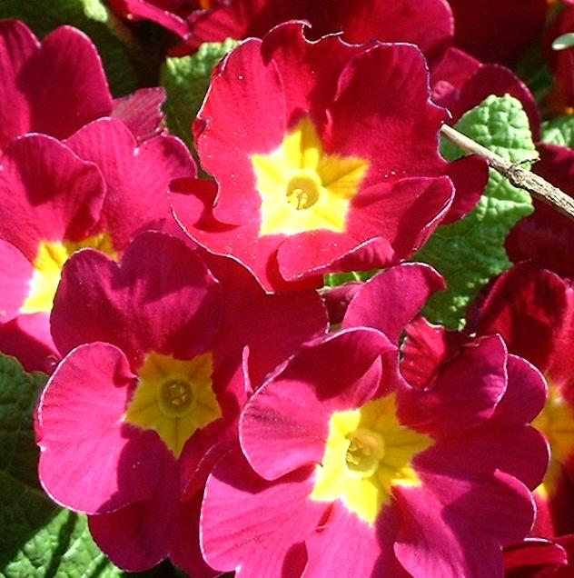 Primel knallrot Primula