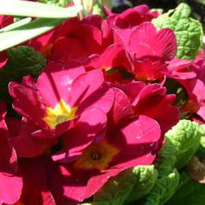 Primel knallrot Primula 02