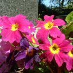 Primel lila Primula 01