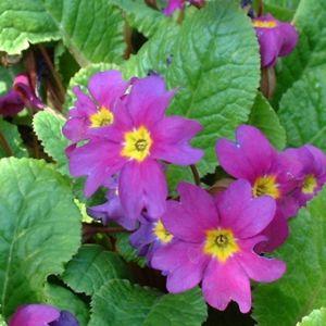 Primel lila Primula 02