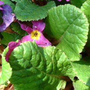 Primel lila Primula 03