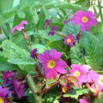 Primel lila Primula 04