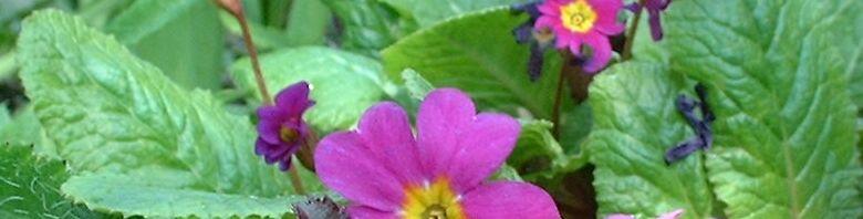 Anklicken um das ganze Bild zu sehen Primel Blüte lila Primula acaulis