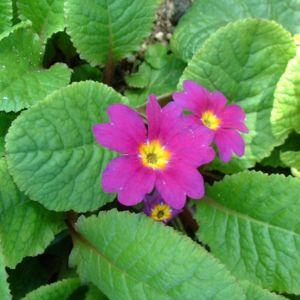 Primel lila Primula 05