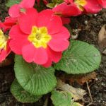 Primel rot Primula vulgaris 02