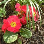 Primel rot Primula vulgaris 03