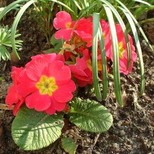 Primel Blüte rot Primula vulgaris