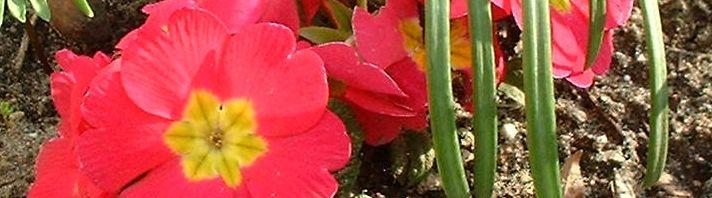 Anklicken um das ganze Bild zu sehen Primel Blüte rot Primula vulgaris