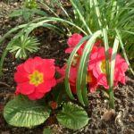 Primel rot Primula vulgaris 04