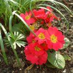 Primel rot Primula vulgaris 05