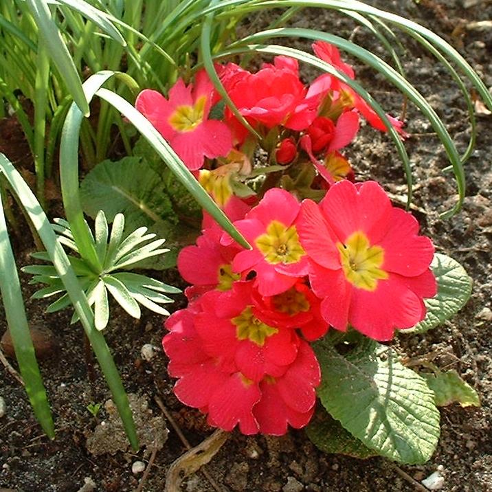 Primel rot Primula vulgaris
