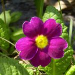 Primel rote Bluete Primula vulgaris 02