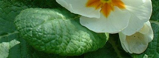 Anklicken um das ganze Bild zu sehen Primel Blüte weiß Primula vulgaris