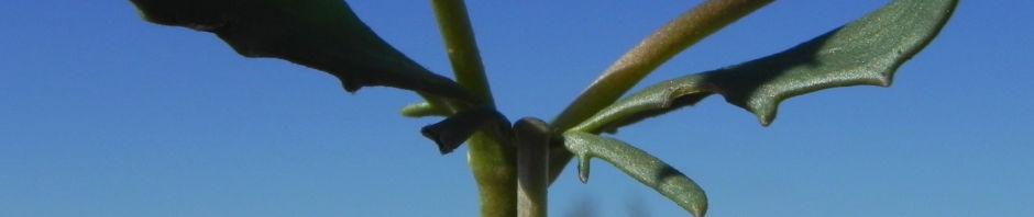 primrose-goodenia-blatt-gruen-bluete-gelb-goodenia-blackiana