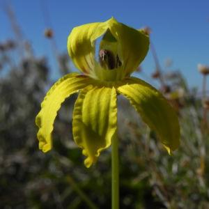 Primrose Goodenia Bluete gelb Goodenia blackiana 03
