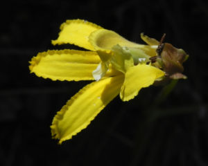 Primrose Goodenia Bluete gelb Goodenia blackiana 11