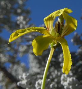 Primrose Goodenia Bluete gelb Goodenia blackiana 12